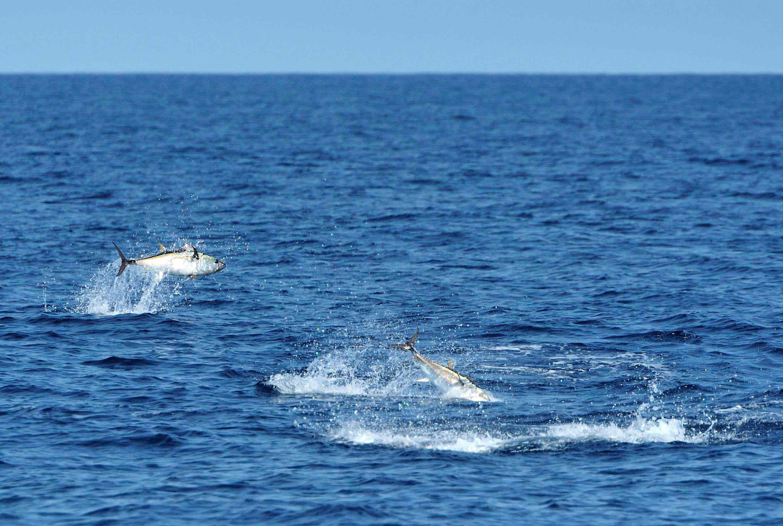Tunfiskesafari i Øresund